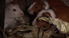 Guinea pigs in a hut in Peru Stock Footage