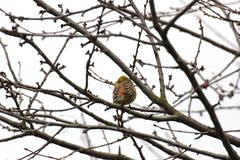 Yellowhammer - stock photo