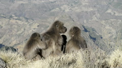 Gelada baboon in the Simien Mountains National Park, Ethiopia Stock Footage