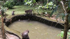 Monkeys bathe and play in decorative pond. Bali, Sacred Monkey Forest, Indonesia Stock Footage