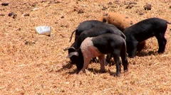 Piglets on a farm in south america, Peru Stock Footage
