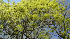 Maple deciduous tree leaf buds and blooms on blue sky in spring Stock Footage