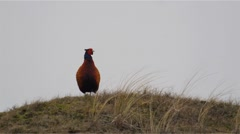 Common pheasant - Phasianus colchicus Stock Footage
