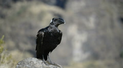 Thick-billed Raven (Corvus crassirostris) adult, standing on rock, Simien nation Stock Footage
