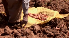 Potatoe harvesting farmer in the andes of Peru Stock Footage