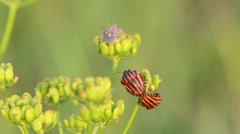 Two are mating bedbugs on flowers in the garden Stock Footage