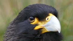 A bird called striated caracara with black feather Stock Footage