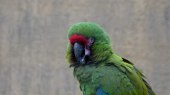 A green macaw parrots head Stock Footage
