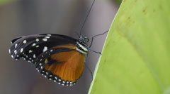 A Tiger Longwing kind of butterfly in a leaf Stock Footage