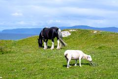 Sheep and horses in the fields of Iona in the Inner Hebrides, Scotland - stock photo