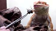 Stock Video Footage of Bearded Dragon or Pogona vitticeps