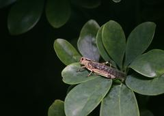 Migratory Locust (Locusta migratoria) On Leaves Stock Photos