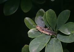 Migratory Locust (Locusta migratoria) On Leaves - stock photo