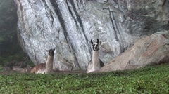 Lama in Machu Picchu, Peru Stock Footage
