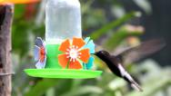 Stock Video Footage of Black Jacobin Hummingbird and other