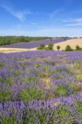 Vertical view of lavender and wheat field - stock photo