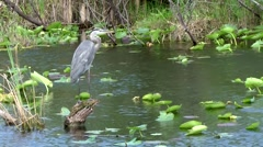 USA Florida Everglades National Park 009 heron stands on tree stump in water Stock Footage