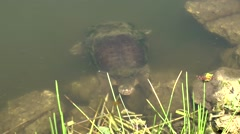 USA Florida Everglades National Park 003 big turtle swims and looks out of water Stock Footage