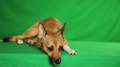 Sad golden mongrel dog Stock Footage