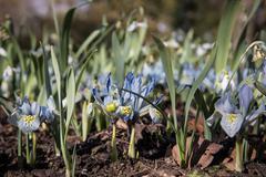 Dwarf Iris Flower, Katherine Hodgkin - stock photo