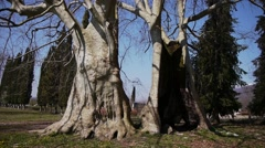 Giant Sycamores in Early Spring Season 2 Stock Footage