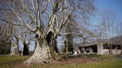Giant Sycamores in Early Spring Season 3 Stock Footage