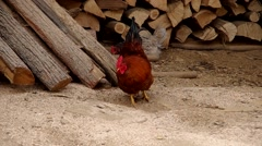 Rooster in the yard Stock Footage