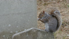 A tiny squirrel munching a peanut - stock footage