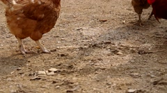 Hens on the yard of a house - stock footage