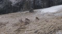 Stock Video Footage of Roe deers in snowfall