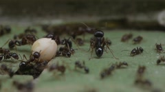 Close up ants moving a seed Stock Footage