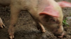 Pig grazing in muddy field Stock Footage