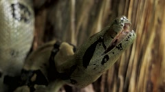 Snake with mouth open Stock Footage
