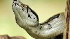 Snake on banana tree Stock Footage