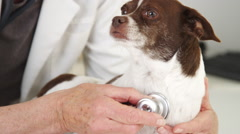 Woman vet listening to chihuahua heart Stock Footage