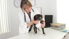 Senior woman vet checkup with pitbull mix dog Stock Footage