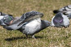Rock feral pigeon doves - stock photo