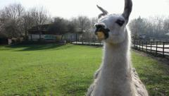 Llama in field during a sunny day Stock Footage