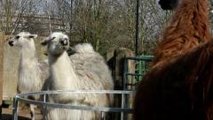 Group of llamas in enclosure, eating straw - stock footage