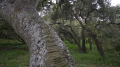 Live Oak Grove Stock Footage