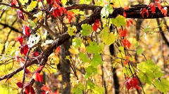 Vines hanging from a tree Stock Footage