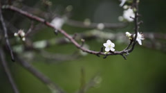 Plum Blossom Stock Footage