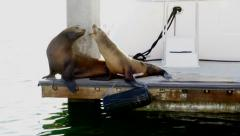 Two sea lions sitting on dock in marina, fighting Stock Footage