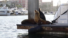 Sea lions on dock in marina - boats in background Stock Footage