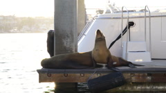 Sea lions sitting on dock in the last bit of sun before sunset. Marina Del Rey, Stock Footage