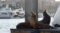 Sea lions on dock in marina - soaking up sun Stock Footage