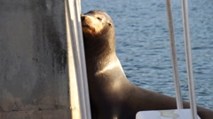 Close up of sea lion rubbing face on a pole Stock Footage