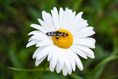 Daisy with a small insect - stock photo