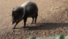 Collared peccary Stock Footage