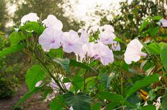 Morning Glory Tree or Ipomoea carnea flowers - stock photo